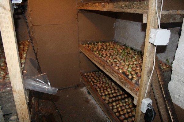 Выращивание лука - одно из простейших решений